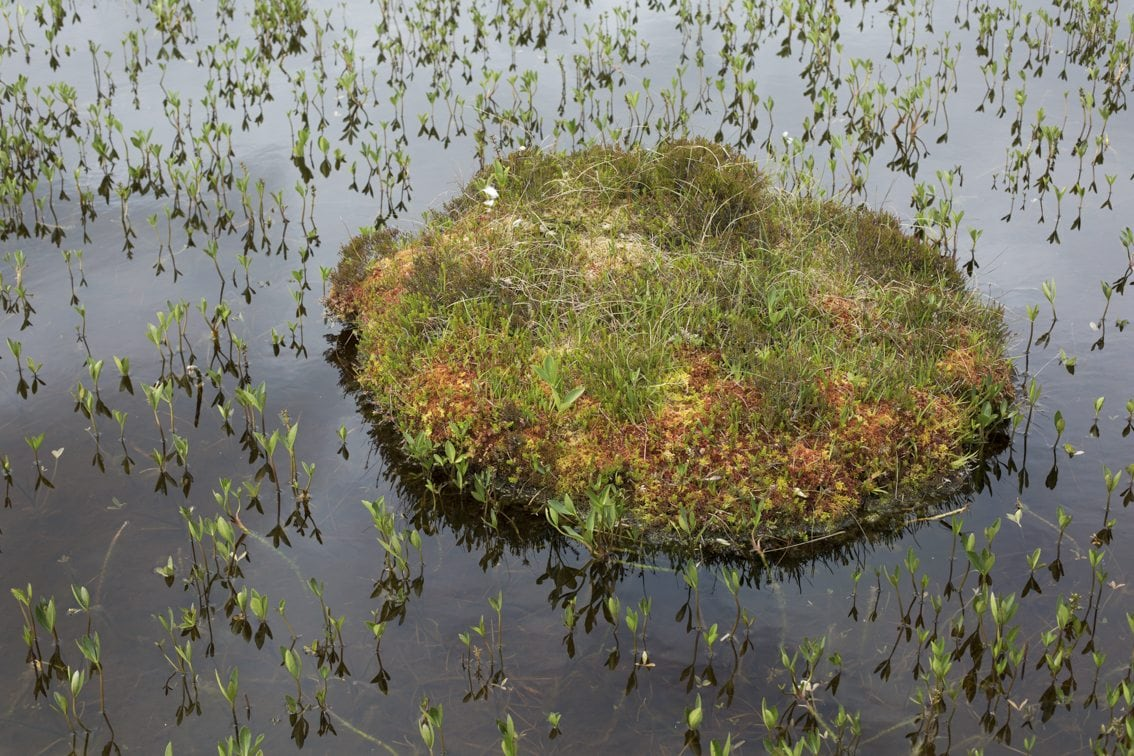 Bogbean plant growing out of the waters of a Hebridean peatbog