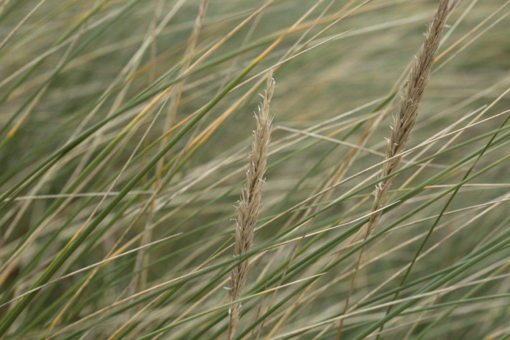 Machair grasses