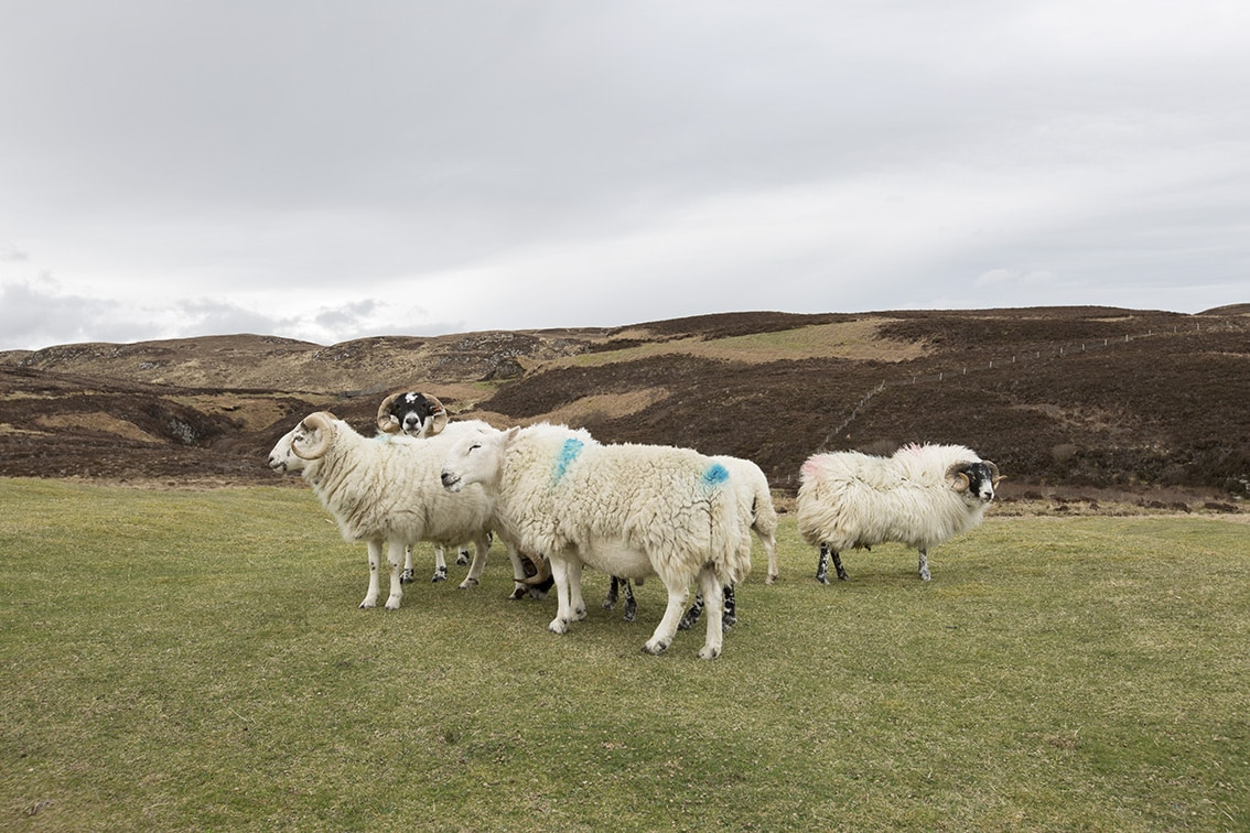 Grazing sheep on Lewis