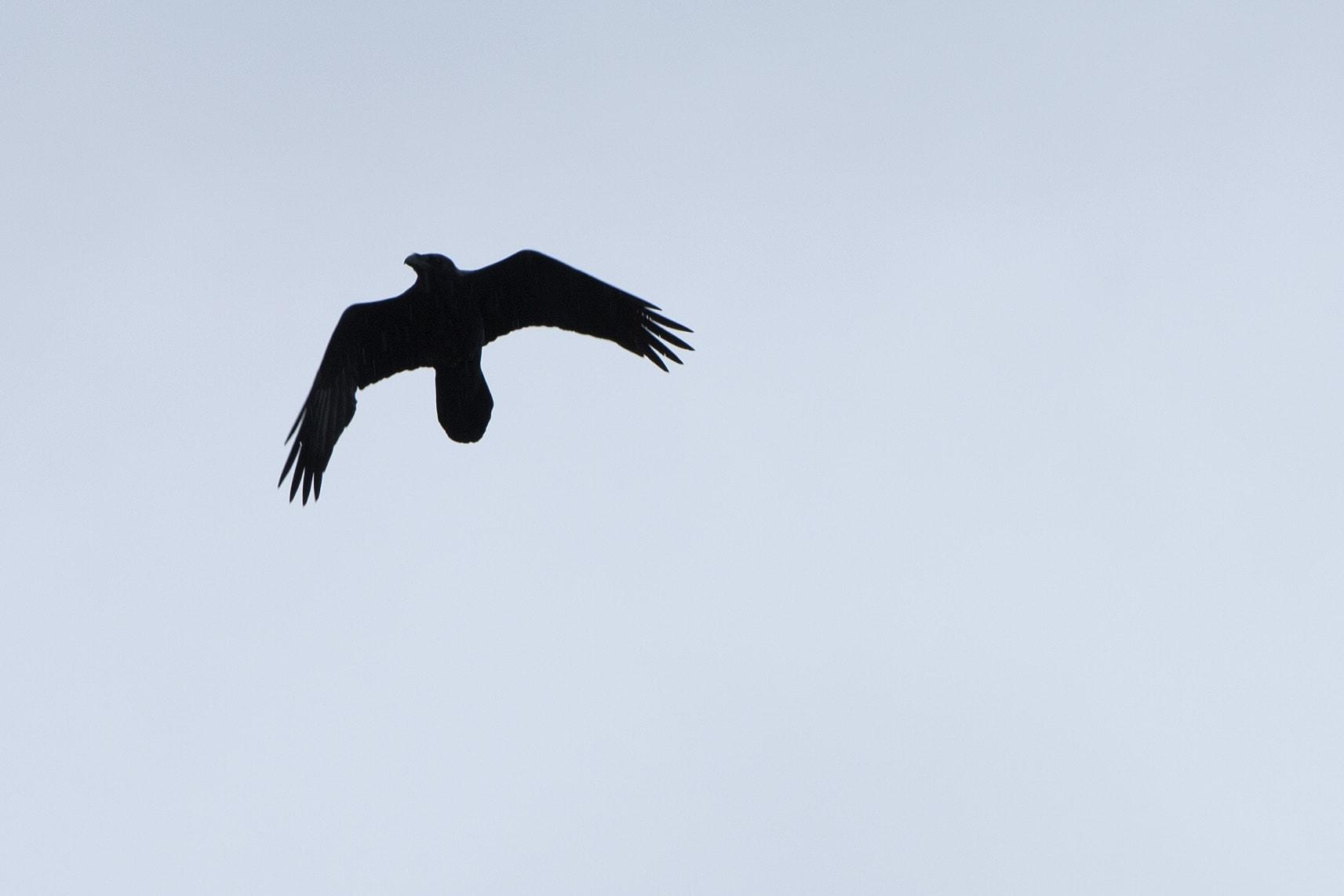 Hebridean Raven