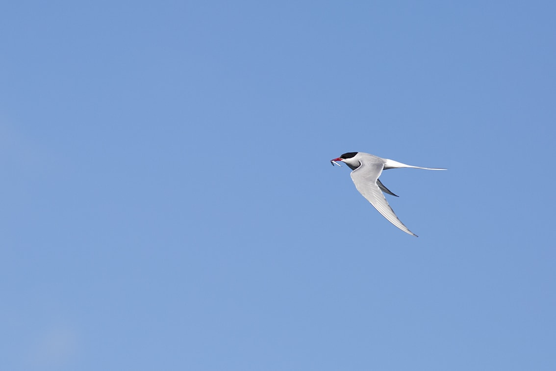 Artic Tern with a catch in its beak