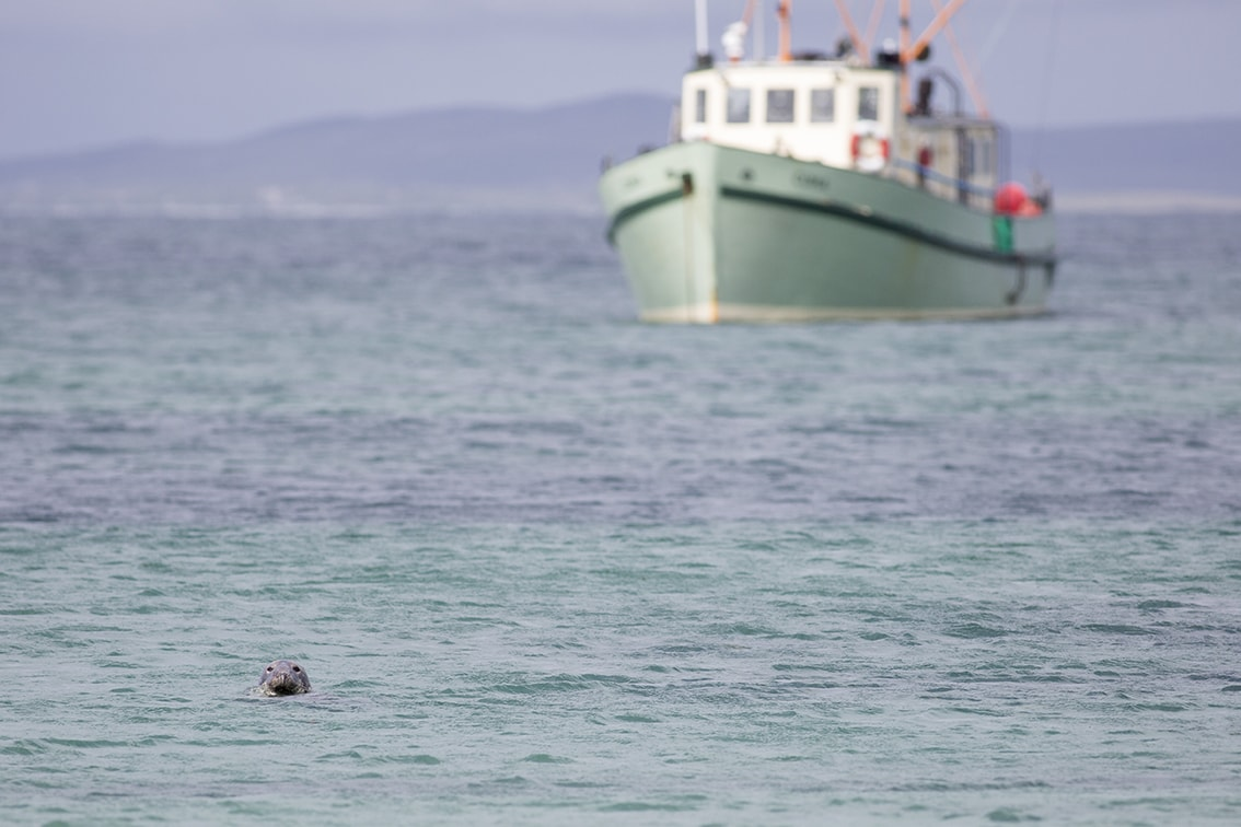 A seal popping up on the way back from the Monach Isles to the Cuma.