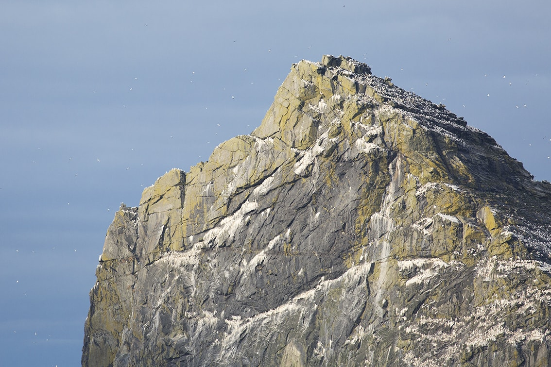 Gannet covered cliffs