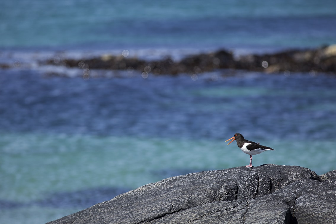 An Oystercatcher on the Monach Isles