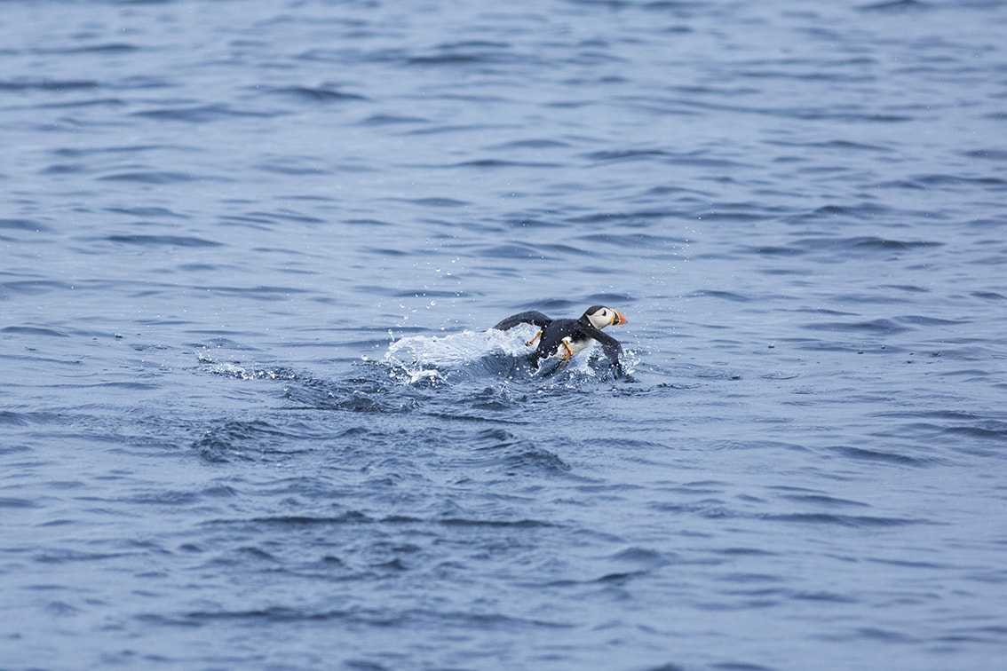 A puffin taking off from Village Bay in St Kilda