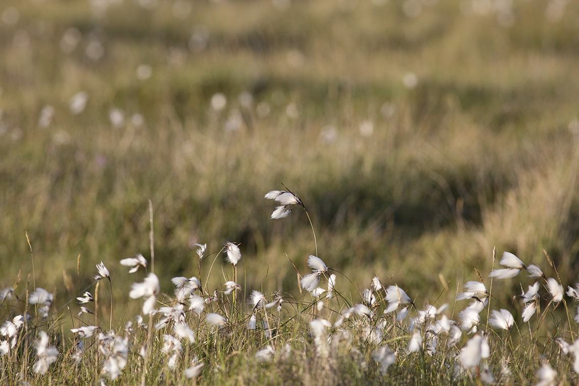 Cotton grass on the croft