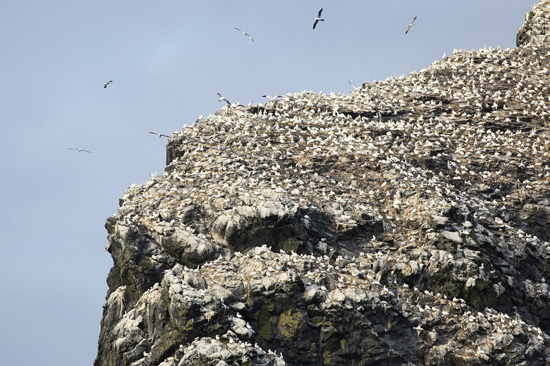Gannets on St Kilda