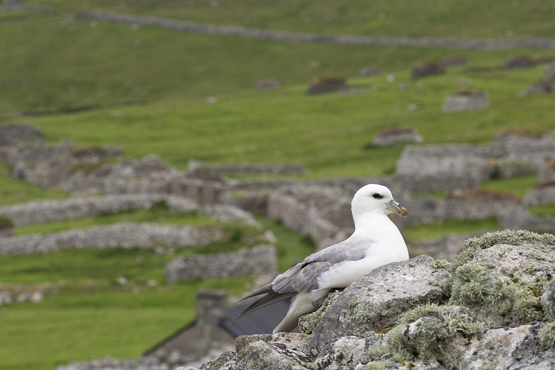 A Fulmar nesting on a Cleit in St Kilda Village