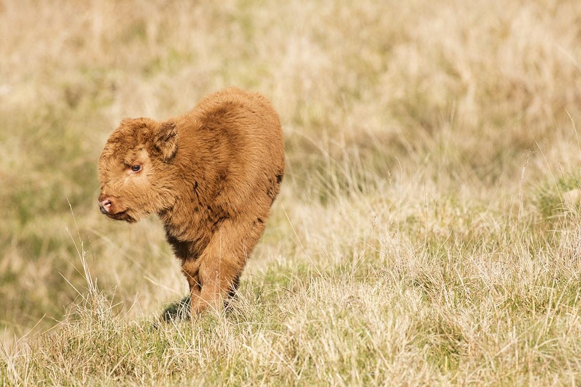 Broad Bay Highland Fold Calves