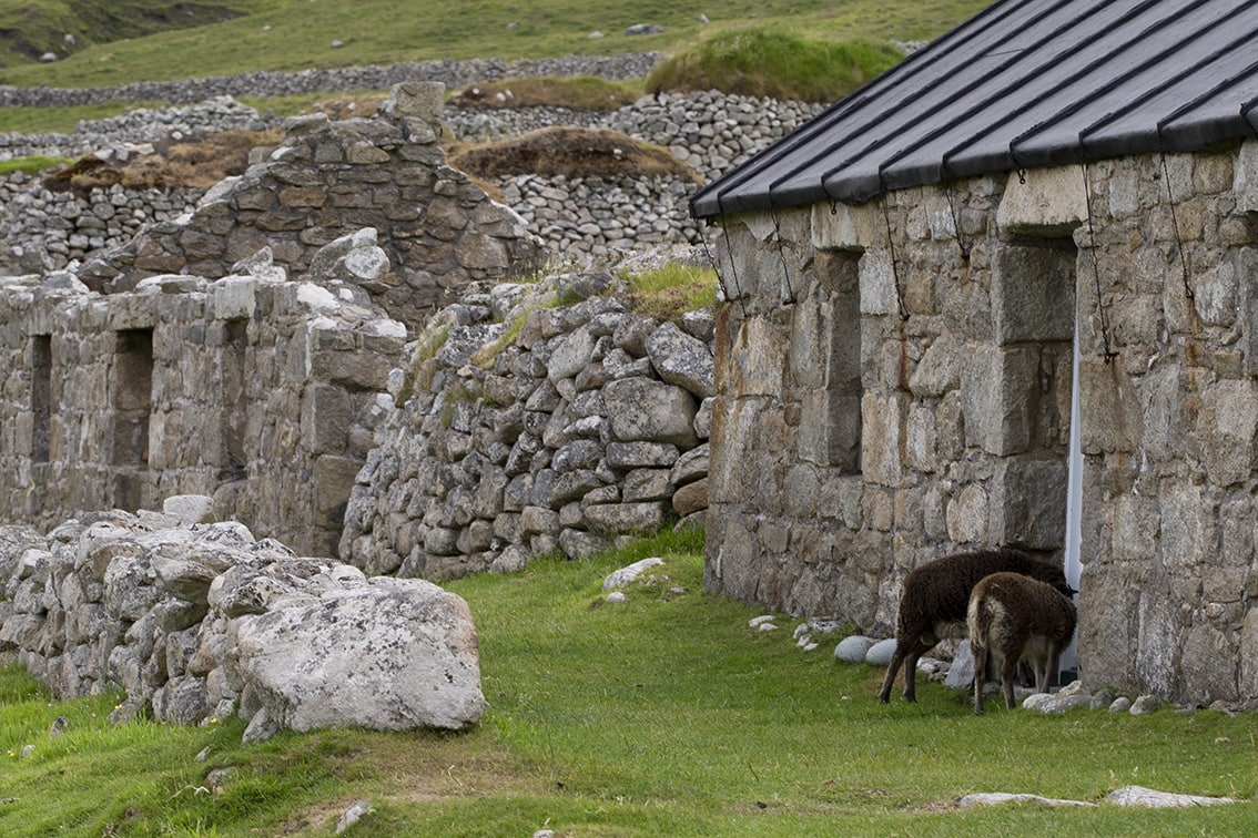 Soay Sheep On St Kilda