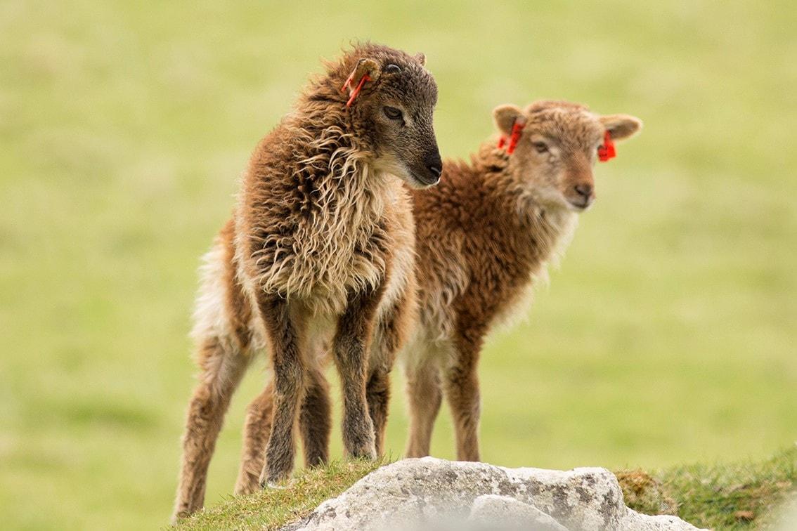 Soay Lambs