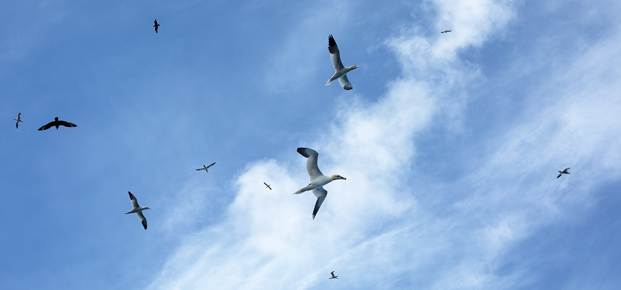 Gannets in the sky above St Kilda