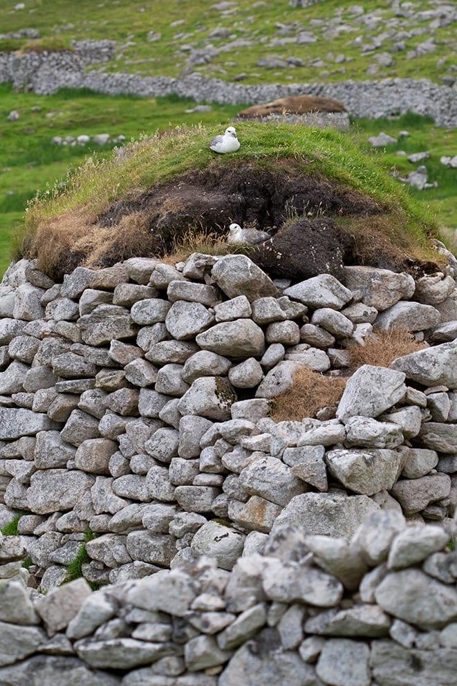 Fulmar nesting in St Kilda Village