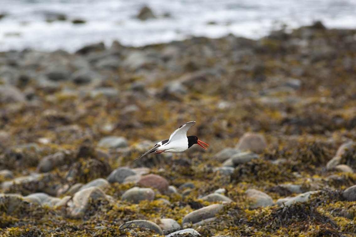 Oystercatcher on the wing