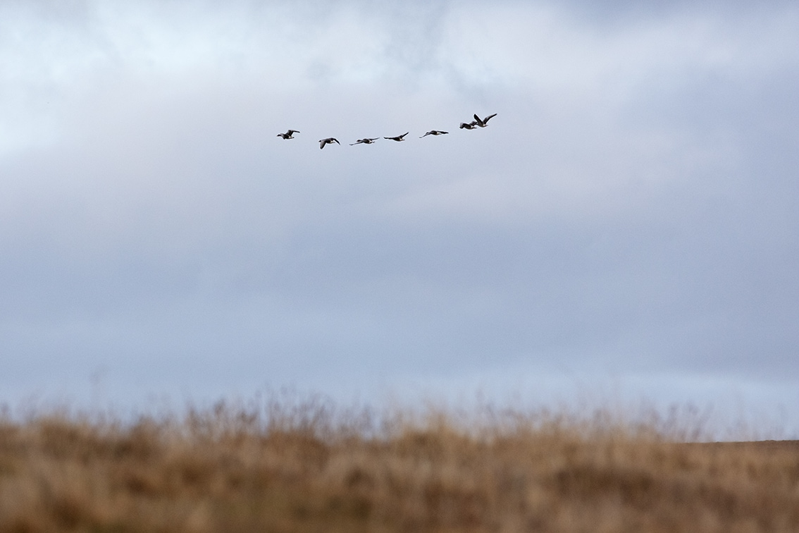 Geese over the croft