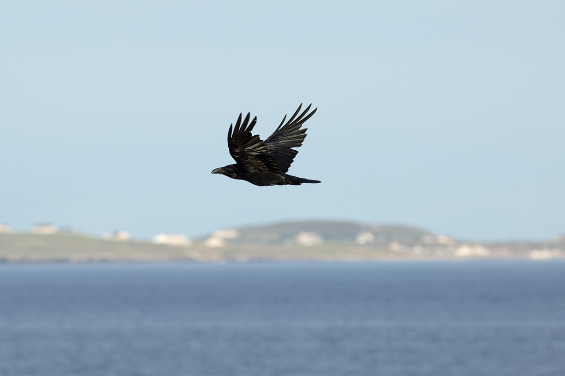 Raven at the foot of the croft