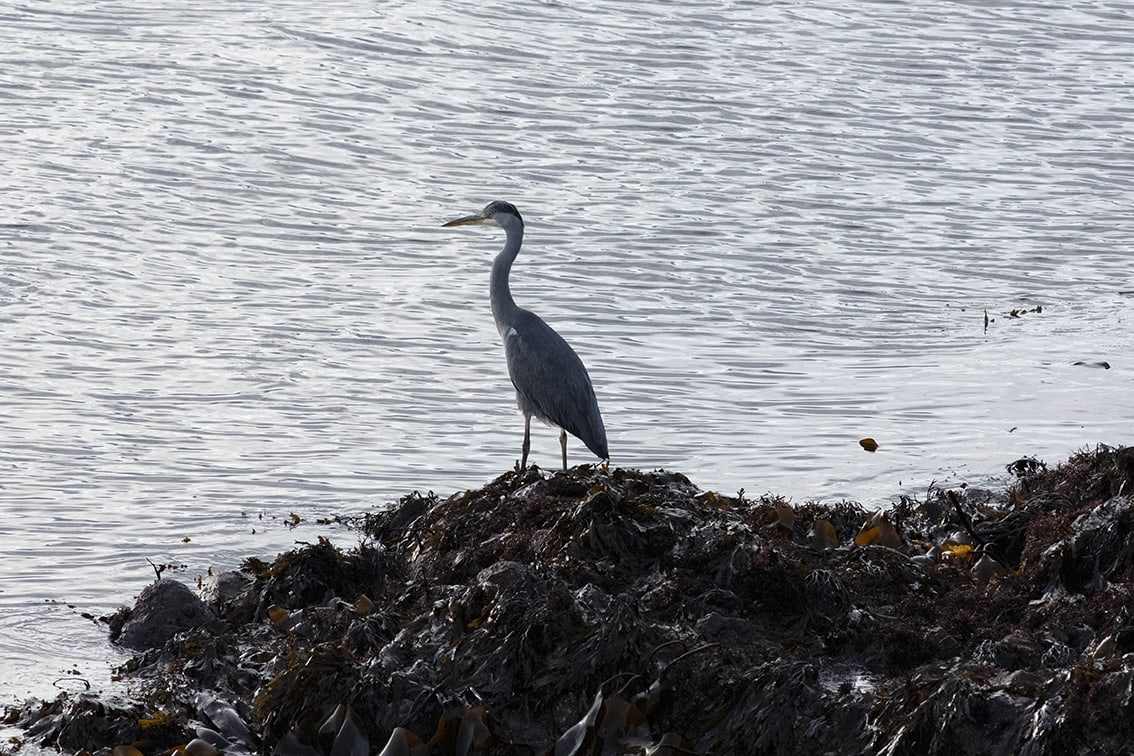 Heron on the shoreline