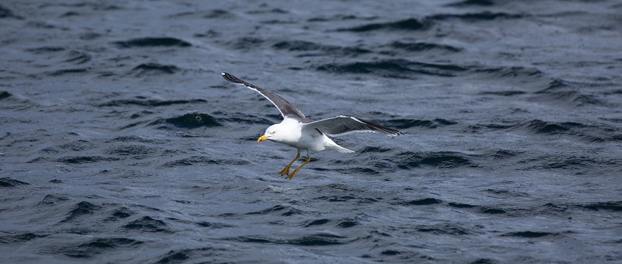 Blackback gull