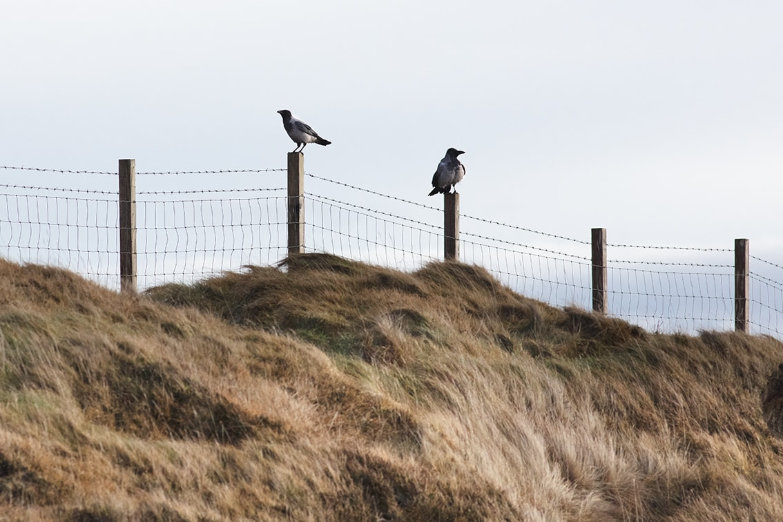 Hooded crows on the croft