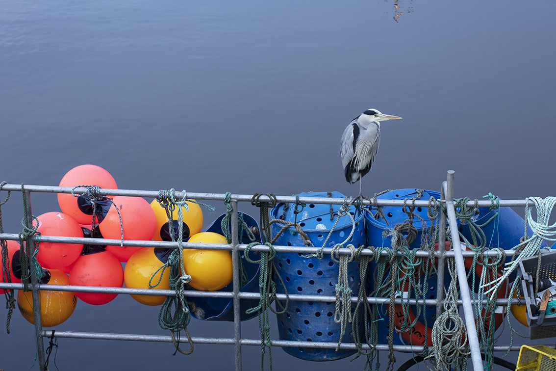 Heron amoungst fishing floats at Stornoway Harbour